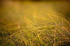 Herbe de prairie Photographie stock