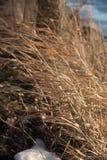 Herbe de prairie grande soufflant en fort vent en hiver Photographie stock