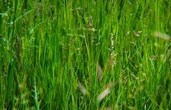 Herbe de prairie naturelle Images libres de droits