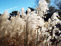 Herbe de prairie plumeuse d'ornement soufflant en vent le jour ensoleillé lumineux Image stock