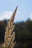 Herbe de prairie sèche contre le ciel bleu avec les nuages blancs à l'été Photo libre de droits