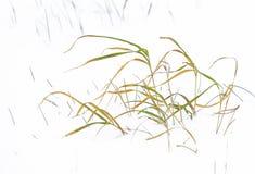 Herbe de Reed dans le paysage d'hiver Photographie stock libre de droits