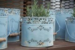 Herbe de Rosemary s'élevant dans le seau peint bleu en métal dans le style de cru D?coration de jardin R?tro bac de fleur image libre de droits