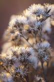 Herbe de Saint-Jacques occidentale sèche Photo stock