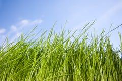Herbe de source contre le ciel bleu photographie stock libre de droits