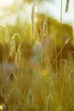 Herbe de transitoire sur le coucher du soleil Photographie stock