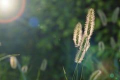 Herbe de viridis de sétaire dans la lueur du coucher du soleil Images libres de droits