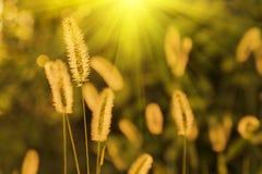 Herbe de viridis de sétaire dans la lueur du coucher du soleil Photo stock