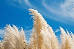 Herbe des pampas Image libre de droits
