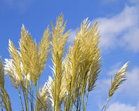 Herbe des pampas Images stock