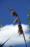 Herbe des pampas Photographie stock