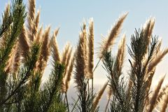 Herbe des pampas Photo stock