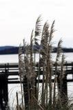 Herbe des pampas avec le dock et baie à l'arrière-plan Photographie stock