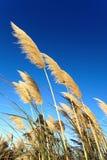Herbe des pampas de Toetoe Image libre de droits
