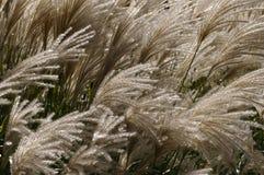 Herbe des pampas en parc images libres de droits