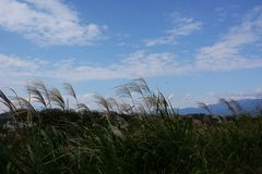Herbe des pampas japonaise photo stock