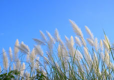 Herbe des pampas Ou selloana de Cortaderia Photo stock