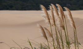 Herbe des pampas s'?levant dans le sable aux champs dunaires c?tiers de l'Alexandrie pr?s d'Addo/de Colchester, Afrique du Sud images stock