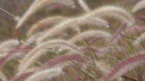 Herbe des pampas secouant avec le vent clips vidéos