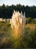 Herbe des pampas, selloana de Cortaderia en composition verticale Images libres de droits
