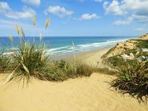 Herbe des pampas sur la plage au Nouvelle-Zélande photos libres de droits