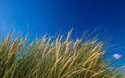 Herbe dunaire image stock