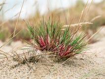Herbe dunaire - parc national de Slowinski, Pologne Images stock