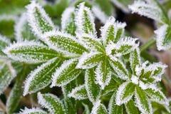 Herbe en gelée Image stock