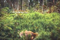 Herbe et champignon verts de mousse à l'arrière-plan impeccable de forêt Images stock