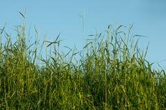 Herbe et ciel bleu Photographie stock