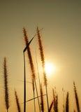 Herbe et coucher du soleil de fleur Image libre de droits