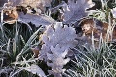 Herbe et feuilles congelées Images stock