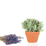 Herbe et fleurs de lavande Photographie stock