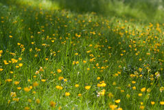 Herbe et fleurs jaunes Image libre de droits