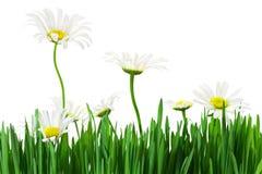 Herbe et marguerites de pelouse Image stock