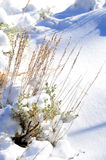 Herbe et sauge dans la neige images stock