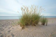 Herbe européenne de gourbet, arénaire d'Ammophila s'élevant en sable sur une plage Images libres de droits
