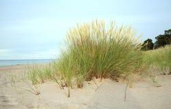 Herbe européenne de gourbet, arénaire d'Ammophila s'élevant en sable sur une plage Photo libre de droits