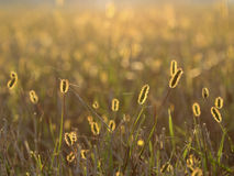 Herbe fleurissante Image stock