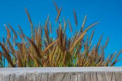 Herbe fleurissante Photographie stock