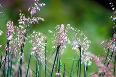 Herbe fleurissante Photos libres de droits