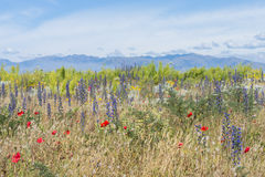Herbe fleurissante et pavots rouges contre les montagnes éloignées Photographie stock