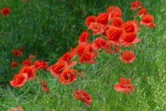Herbe florale de pavots de fond Photo stock