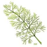 Herbe fraîche d'aneth illustration de vecteur