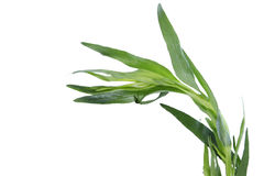 Herbe fraîche d'estragon Image libre de droits