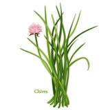 Herbe fraîche de ciboulette illustration stock