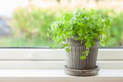 Herbe fraîche de cilantro dans le pot de fleurs photographie stock libre de droits