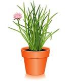 herbe fraîche de flowerpot de ciboulette Image libre de droits