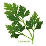 Herbe fraîche de persil italien Photos libres de droits