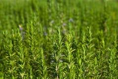 Herbe fraîche de Rosemary Photo stock